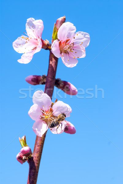 Peach blossom in spring. bee collects honey on a flower Stock photo © Zhukow