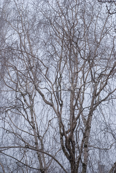 birch branches in the fog Stock photo © Zhukow
