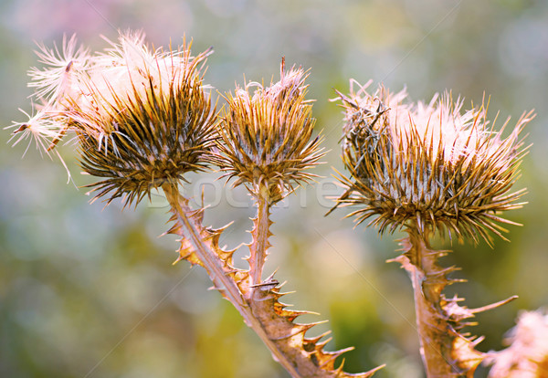Close up of purple thistles in summer Stock photo © Zhukow
