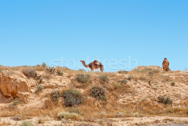 Chameaux troupeau Photo stock © Zhukow