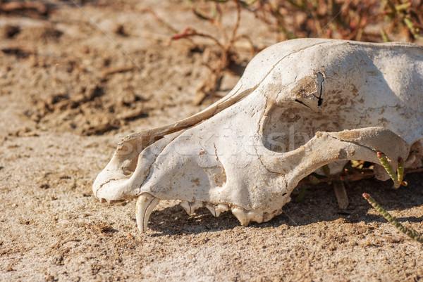 собака череп трава старые природы голову Сток-фото © Zhukow