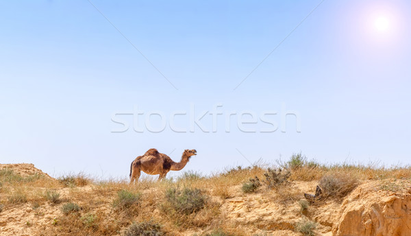 Arabian Camel graze at the Israeli Negev Desert. Stock photo © Zhukow