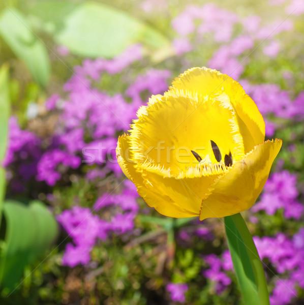 Geel tulp zonne glade tuin voorjaar Stockfoto © Zhukow