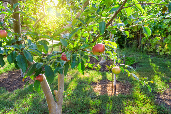 Red apples on apple tree branch Stock photo © Zhukow