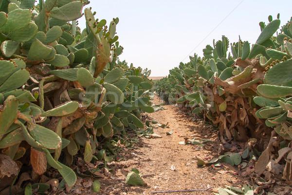 Thicket of cactus Opuntia ficus-indica in Negev desert. Stock photo © Zhukow