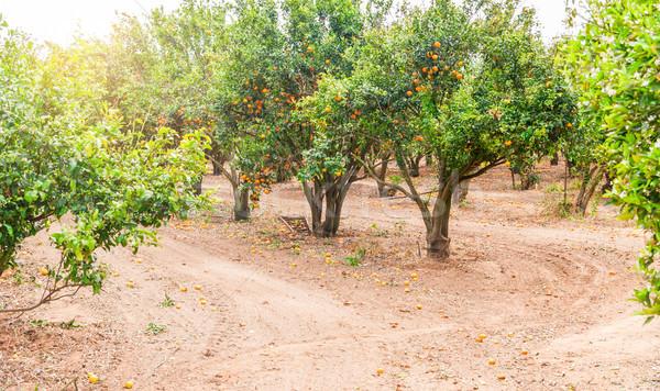 Olgun mandalina ağaç büyüyen çiftlik bahçe Stok fotoğraf © Zhukow