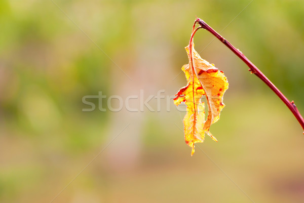 colored leaves on the branches in the autumn Stock photo © Zhukow