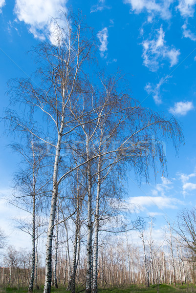 Tree canopy on the background the blue sky Stock photo © Zhukow