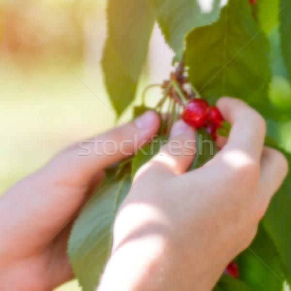 Homme mains récolte cerise arbre flou Photo stock © Zhukow