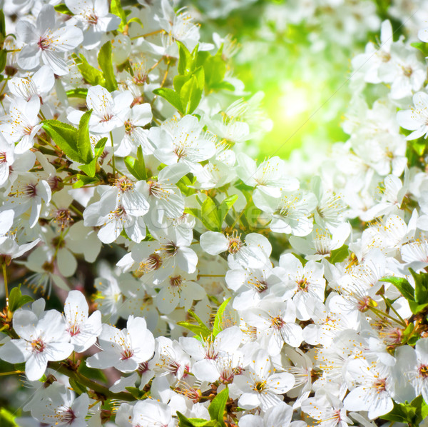 Spring blossom: branch of a blossoming apple tree on garden background Stock photo © Zhukow