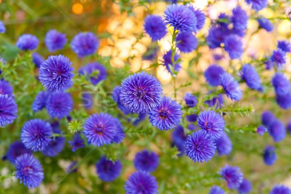 Colorful  bright blue flowers, background Stock photo © Zhukow