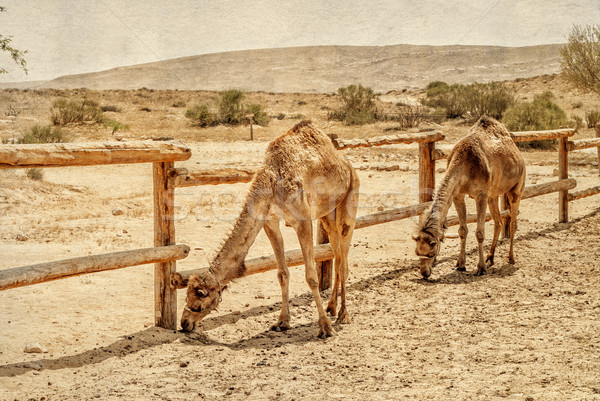Two camels in the corral for camels. Stock photo © Zhukow