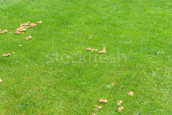Mushrooms in the green meadow Stock photo © Zhukow