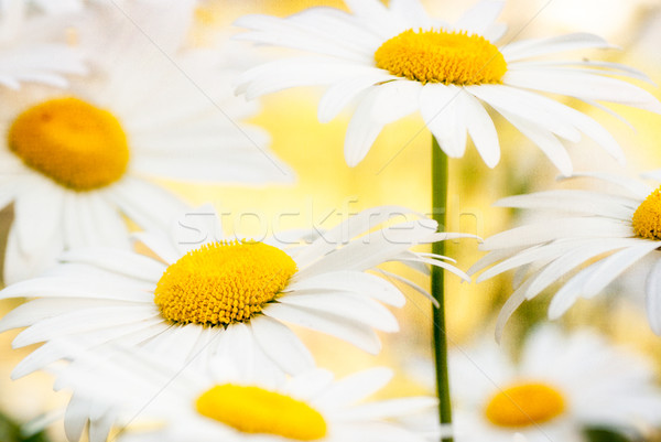 Grunge stained paper background with camomile afield Stock photo © Zhukow
