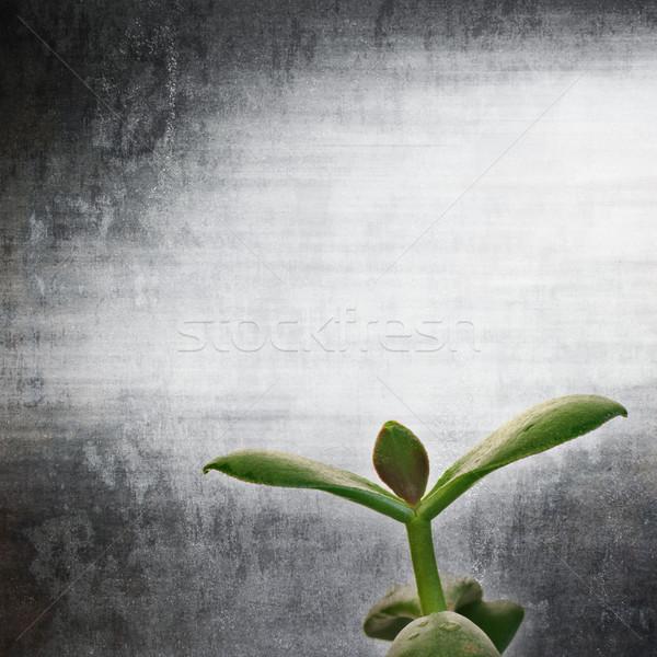 textured old paper background with Crassula ovata C. argentea Stock photo © Zhukow