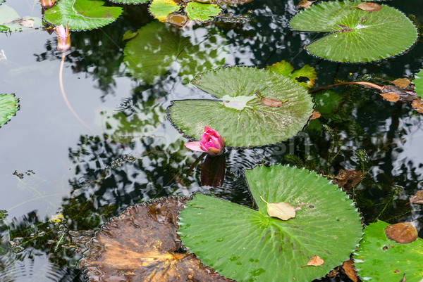 Pink water lily Stock photo © Zhukow