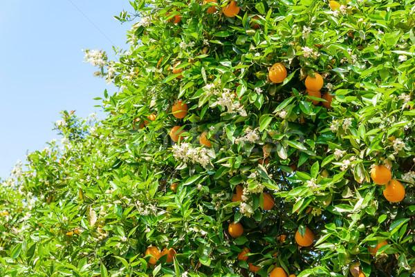 Ripe and fresh oranges on tree Stock photo © Zhukow
