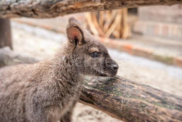 Kangaroo in Zoo Stock photo © Zhukow