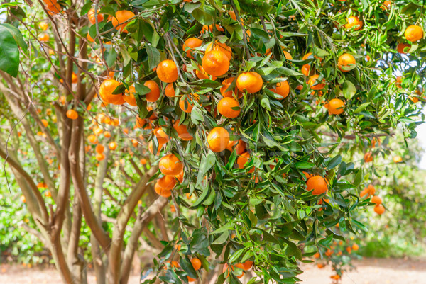 Ripe mandarin tree growing in the farm garden. Stock photo © Zhukow
