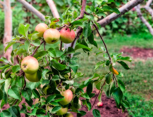 Kırmızı elma elma ağacı şube ağaç gıda Stok fotoğraf © Zhukow