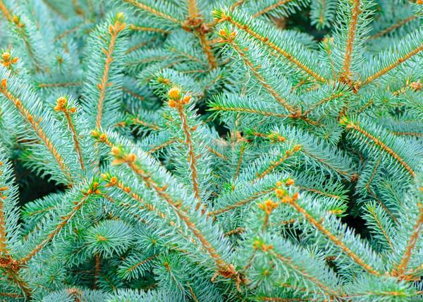 Argento blu abete rosso pino legno Foto d'archivio © Zhukow