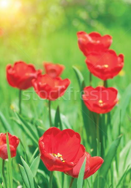 Vermelho tulipas solar clareira primavera grama Foto stock © Zhukow