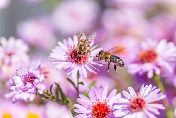 Bee on purple flower collect honey Stock photo © Zhukow