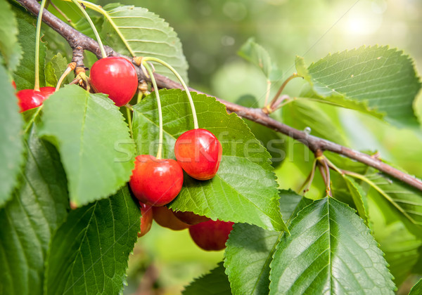 Red and sweet cherries on a branch just before harvest in early summer Stock photo © Zhukow