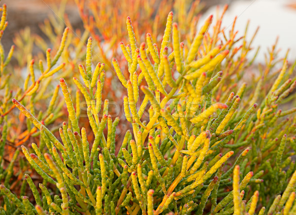 Halophyte- plant that grows in waters of high salinity Stock photo © Zhukow