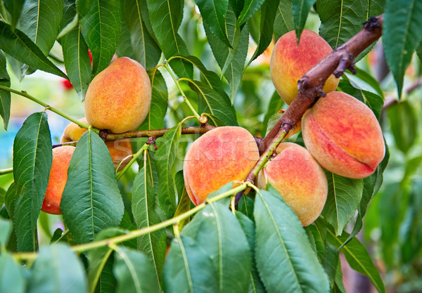 Sweet peach fruits growing on a peach tree branch Stock photo © Zhukow