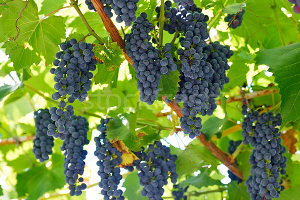 ripening grape clusters on the vine Stock photo © Zhukow