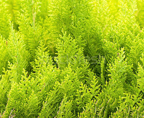 cypress background Stock photo © Zhukow
