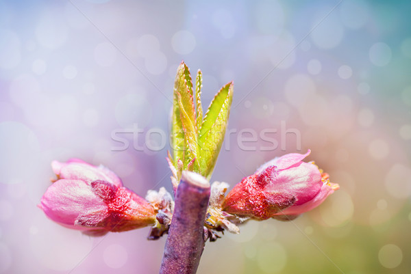 Spring blossom: branch of a blossoming  tree on garden background Stock photo © Zhukow