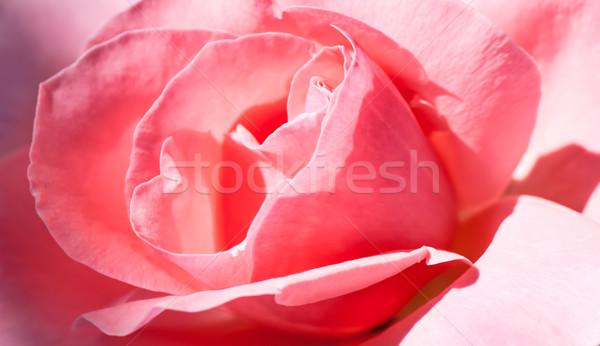 Flor raso campo foco centro Foto stock © Zhukow