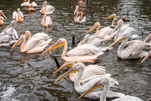 Group of great white pelicans  Stock photo © Zhukow