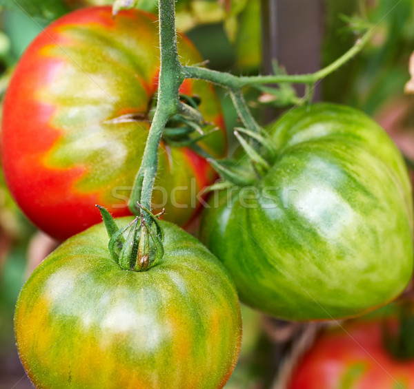 red and green tomatoes in the garden Stock photo © Zhukow