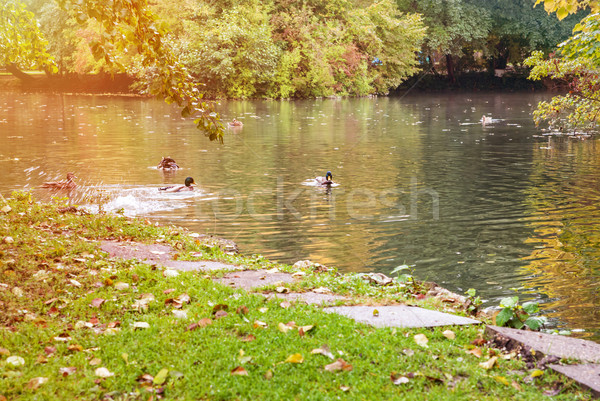 Duck on the lake Stock photo © Zhukow
