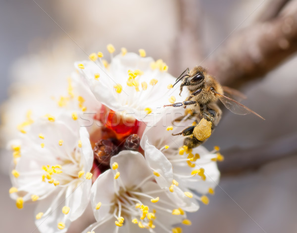 bee collects honey on a flower Stock photo © Zhukow