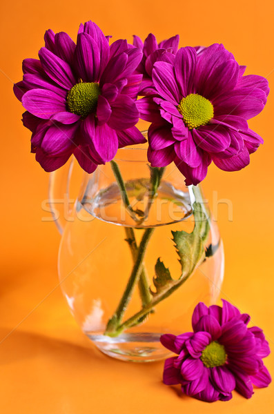 Stock photo: Purple chrysanthemum