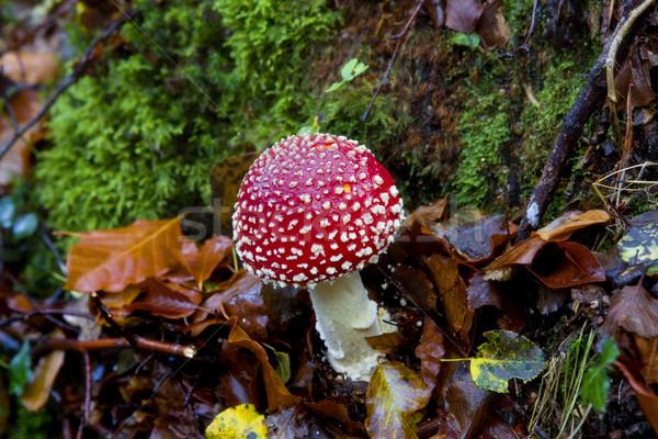 mushroom Stock photo © zittto