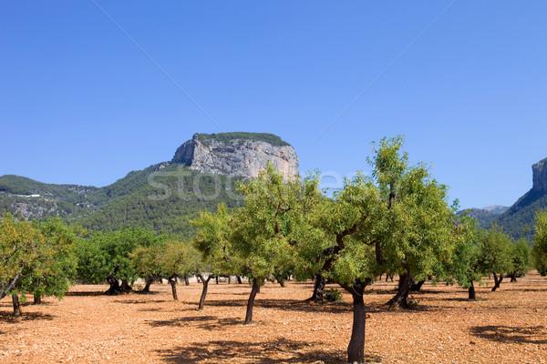 Olajbogyó fák föld mediterrán szigetek Spanyolország Stock fotó © zittto