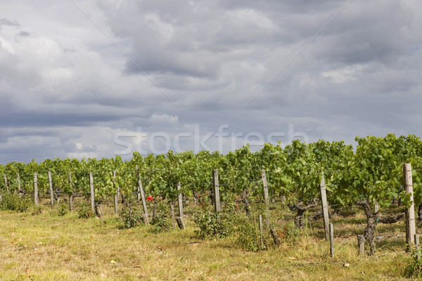 Vineyard Stock photo © zittto