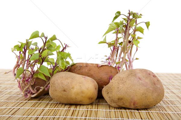 Potatoes sprouting Stock photo © zittto