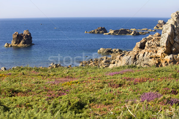 coast rose Stock photo © zittto