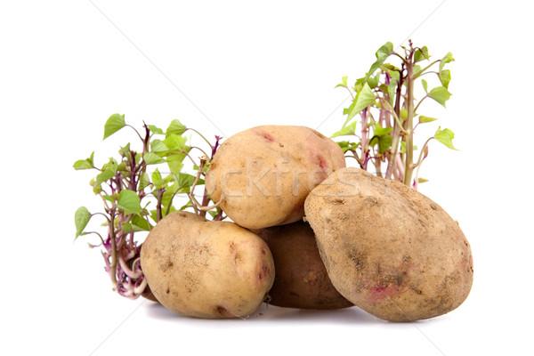Potatos sprouting Stock photo © zittto