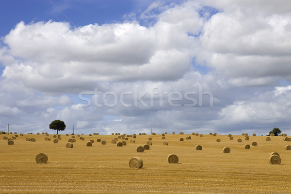 dry hay Stock photo © zittto