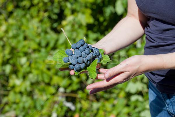 Grapes Stock photo © zittto