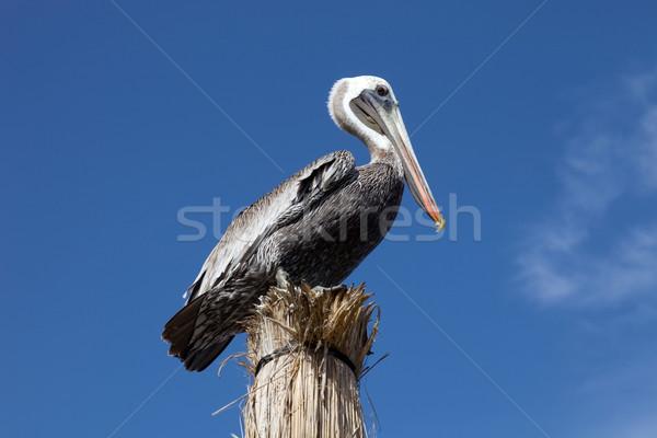 Pelican Stock photo © zittto