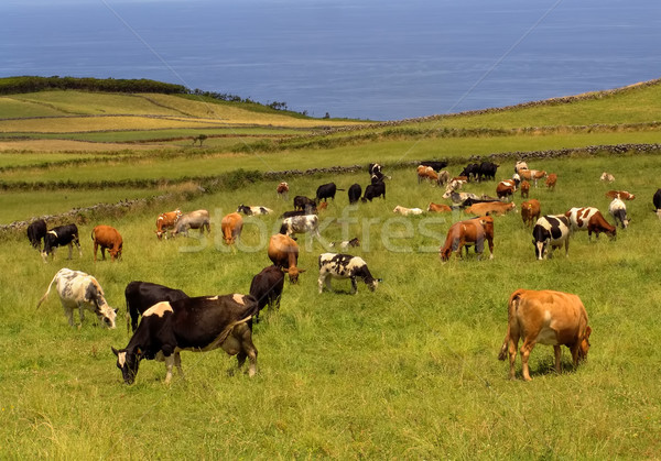 cows Stock photo © zittto