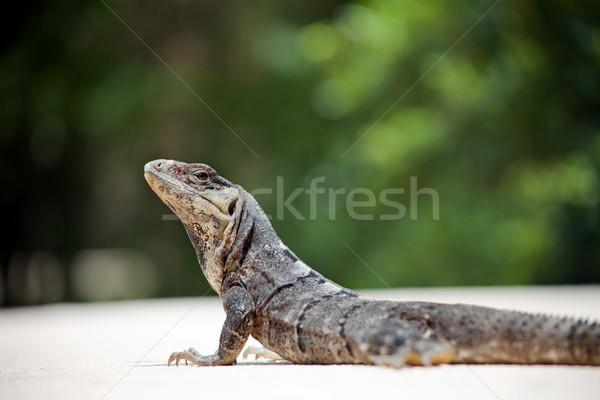 Leguaan zon strand huid grappig tropische Stockfoto © zittto